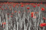 Poppies - Black and White Wall Murals & Posters
