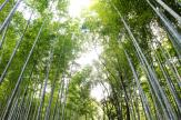Bamboo Forest - Wall Murals Nature Landscape & Posters