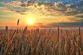 Wheat Field - Sunset Wall Murals & Posters